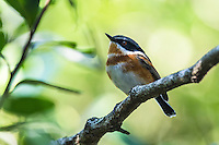 Cape Batis female, Natures Valley, Western Cape, South Africa