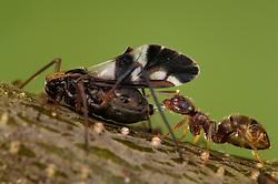 Ants and aphids have a mutualistic relationship. Ants feed on the honeydew excreted by the aphids, and in exchange, they protect the aphids | Eine Ameise (Lasius spec.) klopft mit ihren Antennen auf den Hinterkörper der Blattlaus und nimmt den daraufhin von der Blattlaus ausgeschiedenen Baumsaft-Tropfen auf.