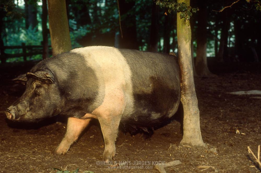 DEU, Deutschland: Hausschwein (Sus Scrofa f. domestica), Züchtung Schwäbisch-Hällisch, kratzt seinen Schwanz an einem kleinen Baum in einem Eichenwald, es gibt heute nur noch sehr selten Schweine im Eichenwald, Bega, Nordrhein-Westfalen   DEU, Germany: Domestic pig (Sus scrofa f. domestica), breed Schwaebisch-Haellisch, scratching its tail on a little tree in an oak forest, very rare that pigs are kept in oak forests today, Bega, Nordrhein-Westfalen  