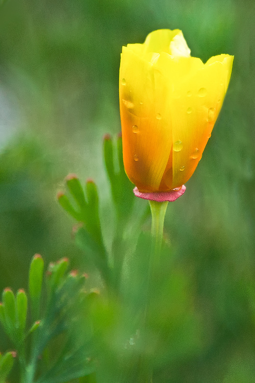 closeup of a california poppy covered in morning dew