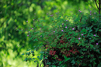 Robert geranium, Herb Robert, Red Robin, Mullerthal trail, Mullerthal, Luxembourg