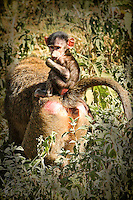 Mother baboon with a baby sitting on her back as she walks through the bushes in Africa. Wildlife and nature photography, wall art.