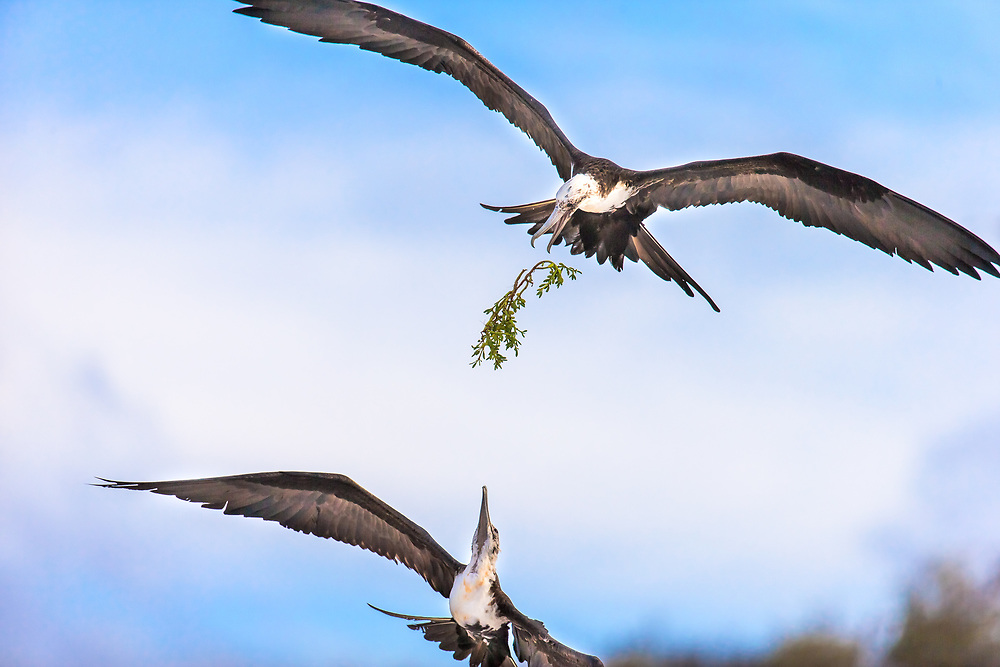 Frigate bird fighting for nesting material, Galapagos Islands