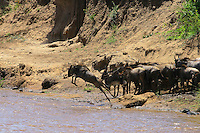 The first wildebeest to jump into a wild river full of crocs is really inspiring...for the other wildebeests. Courage is not a problem for this magnificent species.