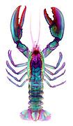 X-ray of an American Lobster (Homarus americanus)
