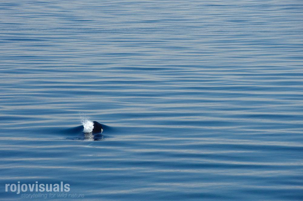 Orca breathing in Bahia de La Paz, Baja California Sur, Mexico..Orca, Bufeo de mascarilla