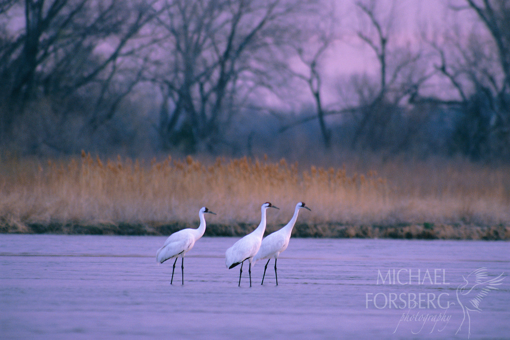 Rowe Sanctuary, Platte River, Nebraska.  Like ghostly aberrations, three rare whooping cranes stand ankle deep on their roost in the Platte River, bathed in the pink light of dawn. They pause in the Platte River valley and wetland complexes of the Nebraska Rainwater Basins in the spring and fall, utilizing critical feeding and roosting habitat. There, they rest and refuel before continuing their journey between wintering grounds on the Texas Gulf Coast and their nesting grounds in Canada's Wood Buffalo National Park. A federally listed endangered species, whooping cranes are the rarest of all crane species in the world, hunted to near extinction by the early 1900's. Thanks to heroic conservation efforts, their numbers are slowly climbing but are still dangerously low. Only 200 or so remain in the wild.