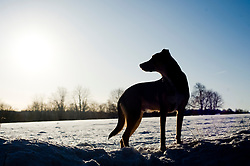 young Black and Tan mongrel dog standing in a snow covered winter landscape silhouetted against a pale blue water colour sky<br />