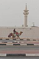 = camel race in the desert, training in Al Shahaniah; Qatar  /// Course de chameaux dans le desert, entrainement a Al Shahaniah +