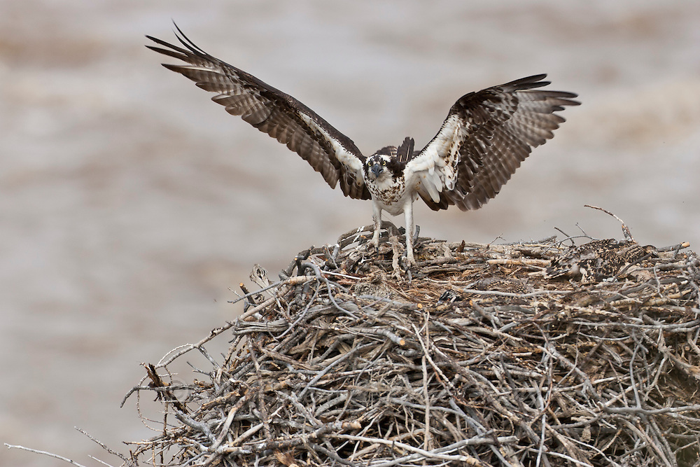 Osprey at nest in Yellowstone National Park