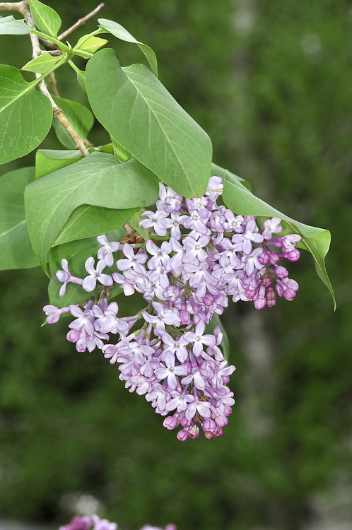 Lilac Syringa vulgaris (Oleaceae) HEIGHT to 7m <br /> A small deciduous tree, but sometimes little more than a multi-stemmed shrub with a rounded crown and a short bole surrounded by suckers. BARK Greyish and spirally fissured in older trees. BRANCHES Usually a mass of ascending branches. The twigs are rounded and shiny greenish-brown. LEAVES Short-petioled and opposite, up to 10cm long, ovate or slightly heart-shaped with entire margins and a slightly leathery feel; they are usually yellowish-green with a smooth surface. REPRODUCTIVE PARTS The fragrant lilac flowers are borne in dense, paired conical spikes, up to 20cm long, arising from the apical leaf axils; the flowers are at their best in May and June. Individual flowers are up to 1.2cm long and 4-lobed. The fruit is a pointed ovoid capsule up to 1cm long. STATUS AND DISTRIBUTION A native of rocky hillsides in the Balkans, growing in open thickets and scrub, but long cultivated in the rest of Europe for its attractive fragrant flowers. In Britain and Ireland, it is a popular garden plant and frequently naturalised as well, spreading by vegetative means (mainly suckers) rather than seed.