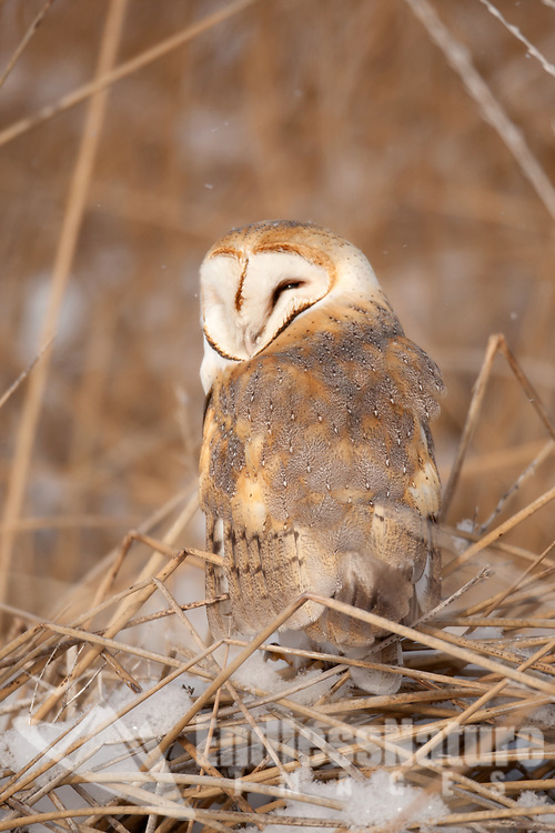 A Barn Owl rests on top of cattails knocked down by the snow on a cold January morning.