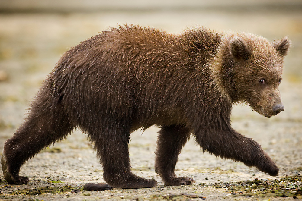 USA, Alaska, Katmai National Park, Geographic Harbor, Brown Bear cub (Ursus arctos) walking along stream on autumn afternoon