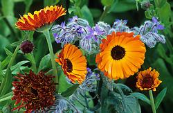 Calendula 'Indian Prince' - marigold - with borage. Both have edible flowers.
