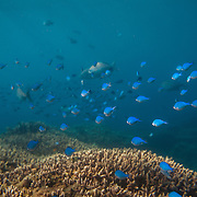 Schools of fish swim over corals near Lady Elliot Island. It is the southern-most coral cay of the Great Barrier Reef, Australia. The island is home to a small resort and airstrip, which is serviced daily by flights. Visitors to the resort can stay in a variety of accommodation, from suites to eco cabins. The island is located within the Great Barrier Reef Marine Park and is teeming with live corals and sea-life, including rays, turtles, fish and birds.