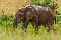 Elephants, Murchison Falls National Park, Uganda.