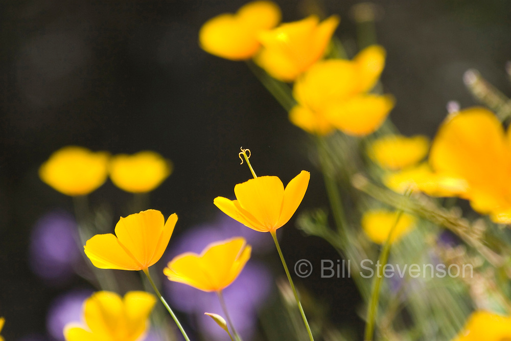 A photo of California Poppies (Eschscholzia californica in the Sierra foothills near Auburn California.