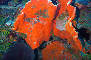 Elephant Ear Sponge, Agelas clathrodes, Orange Canyon Grand Cayman