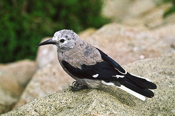 "Clark's Nutcracker (Nucifraga columbiana) A 13"" bird, gray with black wings; black central tail feathers.  Prefers coniferous forests in western mountains, USA."