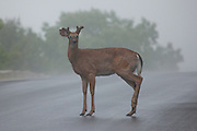 A deer in the headlights!  White-tailed Deer, Acadia National Park, Maine, North America