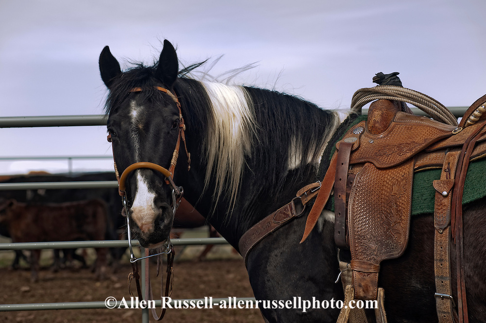 Paint ranch horse at branding, Montana