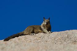 Joshua tree National Park, squirrel
