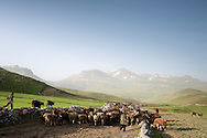 Dairy cattle are lead to pasture in Kars province, Turkey