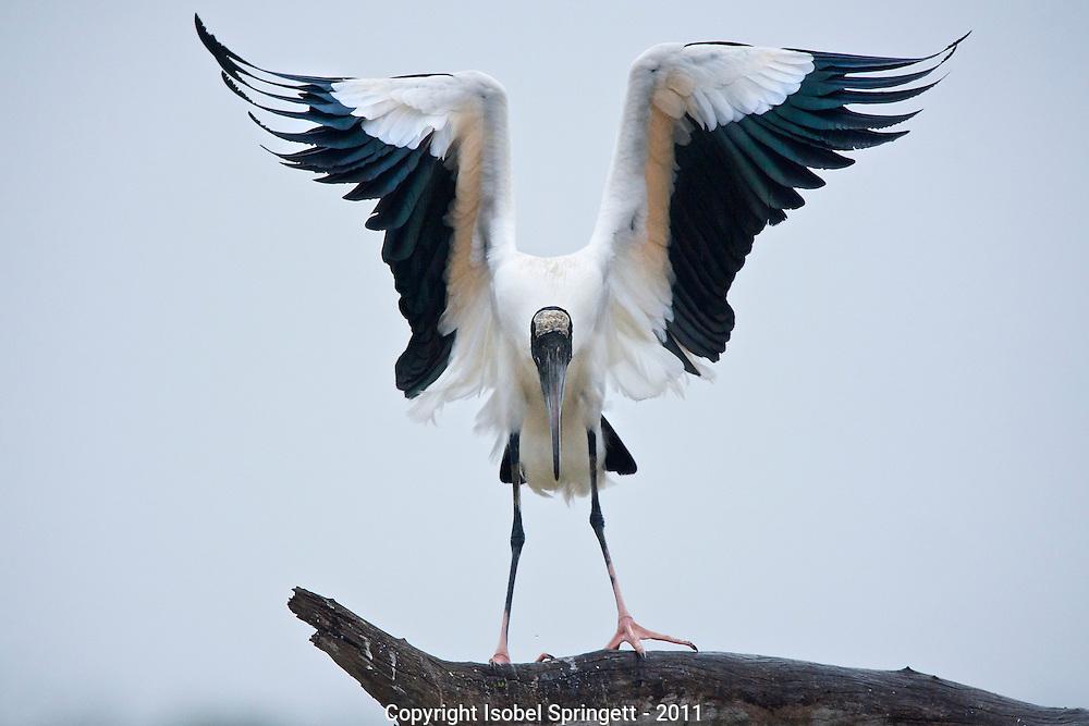 Wood Stork. (Mycteria americana), Courtenay, Matto Grosso, Brazil, Isobel Springett