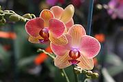 Blooming Orange Orchid