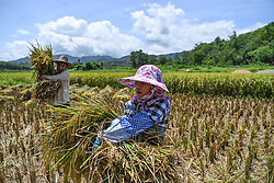 May 30, 2017 - A villager carries collected rice in Fanyang Village of Fanyang Township in Wuzhishan City, south China's Hainan Province. Farmers here are busy collecting rice. (Credit Image: © Shen Hong/Xinhua via ZUMA Wire)