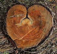 Pine tree, Pinus sylvestris.Kuhmo, Finland