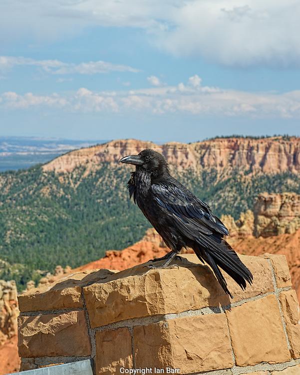 Raven at Ponderosa Point,Elevation 8904 ,Bryce Canyon National Park,Utah.