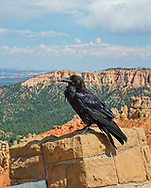 Raven at Ponderosa Point,Elevation 8904 ,Bryce Canyon National Park,Utah.