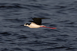 Black-necked Stilt (Himantopus mexicanus) flying, Shoreline Park, Mountain View, California, United States of America