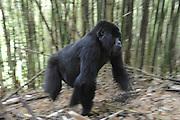 Mountain Gorilla<br /> Gorilla gorilla beringei<br /> Female walking in bamboo forest<br /> Parc National des Volcans, Rwanda<br /> *Endangered species
