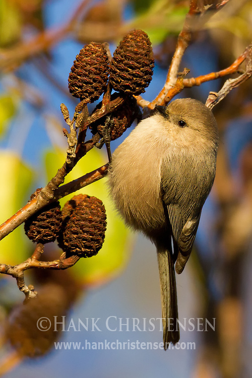 A bushtit hangs from the small branch of a tree, clinging to a tiny cone