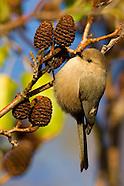 Backyard and Song Birds