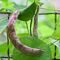 Purple-streaked Rattlesnake bean pod on the vine