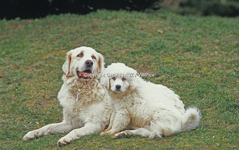 Polish Tatra Sheepdog, Mother and Pup laying on Grass