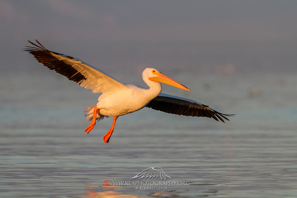 Golden morning light on an American White Pelican in flight, skimming above Salton Sea, California.  The American White Pelican has a huge 9-foot wingspan.