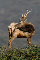 A Tule elk (Cervus elaphus nannodes) stands on a ridge grooming its right flank.