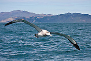 Antipodean Albatross, Kaikoura, New Zealand