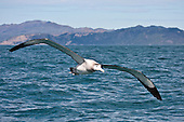 Antipodean Albatross Pictures - Photos