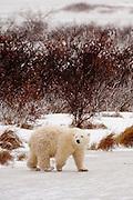 CANADA, Churchill (Hudson Bay).Young polar bear (Ursus maritimus)