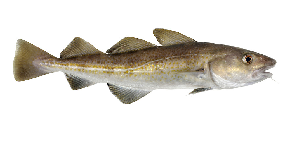 Atlantic Cod Gadus morhua Length to 1m<br /> Distinctive fish with a proportionately large head. Young in particular venture into inshore waters, especially in winter months. Adult is brown above, slivery below, marbled with golden spots and yellowish hue on flanks. Has 3 dorsal fins and 2 anal fins. Lower jaw is shorter than upper with long barbel. Widespread and fairly common, least so where fished commercially.