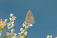 Long-tailed Blue - Lampides boeticus