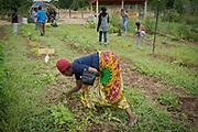 mkb081217/metro/Marla Brose --  Odetta Niragatozo from originally from Congo, weeds okra beds. (Marla Brose/Albuquerque Journal)
