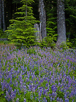 lupine groundcover blooming in summer at the edge of a western hemlock forest along the trail in the Tahoma State Forest, Mount Tahoma Trains, Ashford, Washington, USA