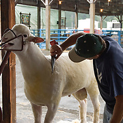 Sheep Shearing Demonstration at the Dutchess County Fair in Rhinebeck, NY