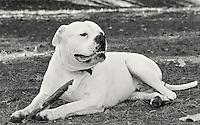 American Bulldog enjoying life's simple pleasures.